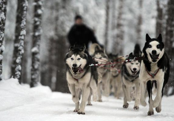 Huskies Pulling Sled Husky Sled Ride